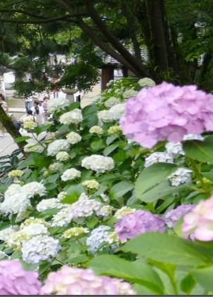 矢田寺アジサイ園